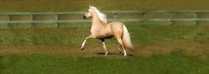 Palomino Peruvian Paso Horse