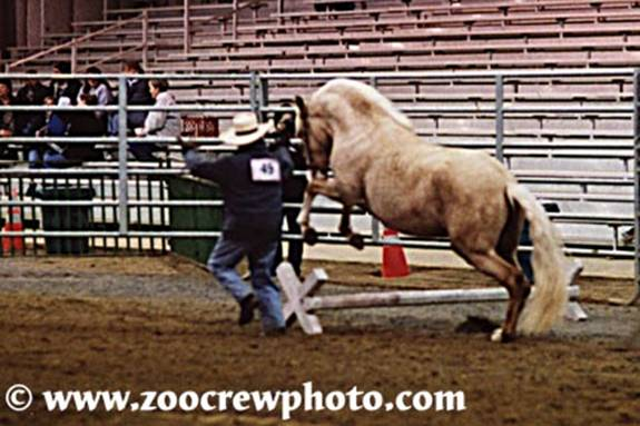 "Tina Woodworth exhibiting in hand with her Peruvian gelding, ""CC"""