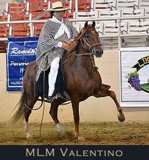 MLM Valentino Laureado Champion of Champion Luxury Gelding 2011, 2012, 2013
